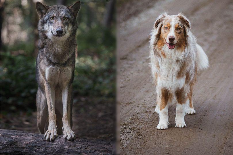 wolf vs dog