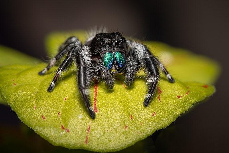 Bold Jumping Spider, Phidippus audax (49608332178)