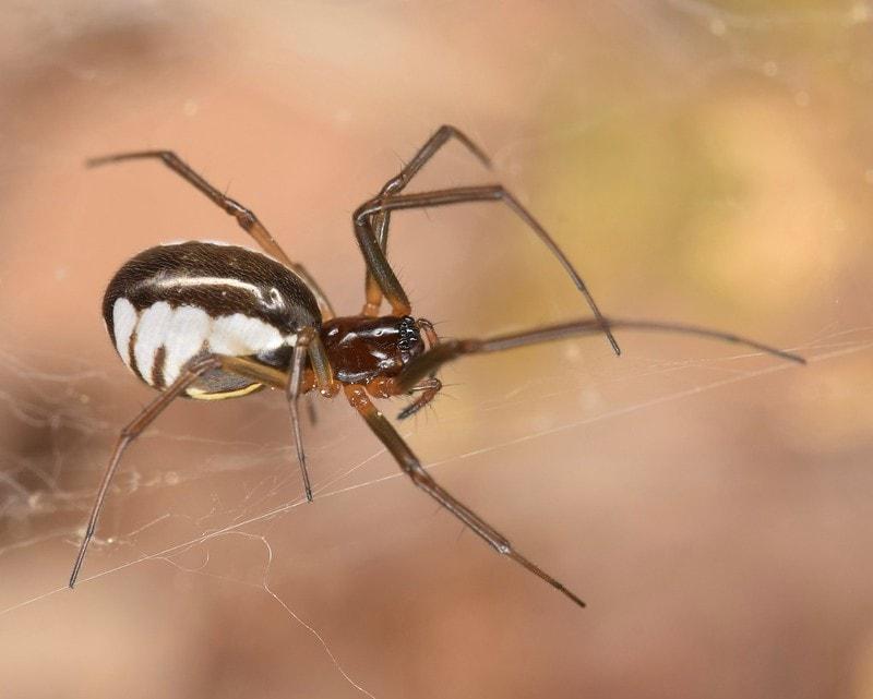 Bowl and Doily Spider - Frontinella pyramitela ♀