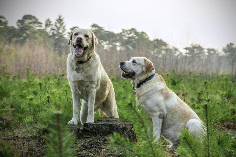 मैदान में कुत्ता युगल
