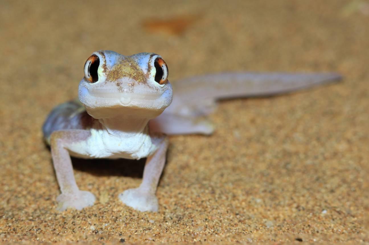 Namib Sand Gecko-Shutterstock