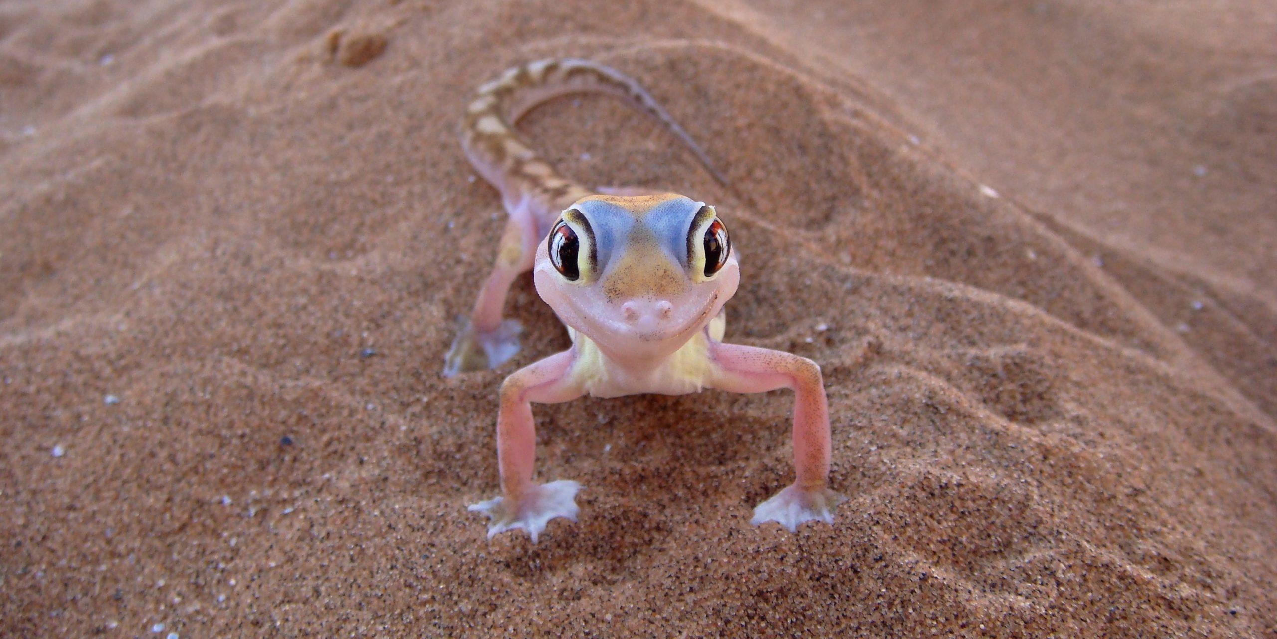 Namib Sand Gecko