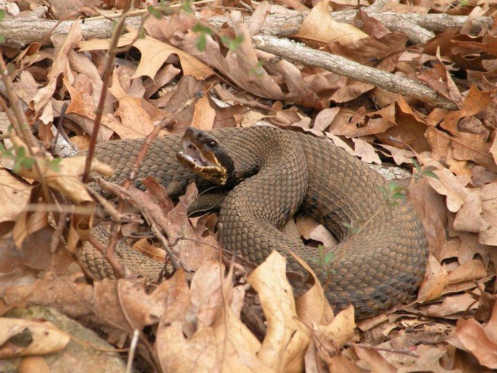Western Cottonmouth Snake