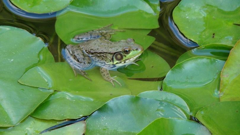 american bullfrog on water