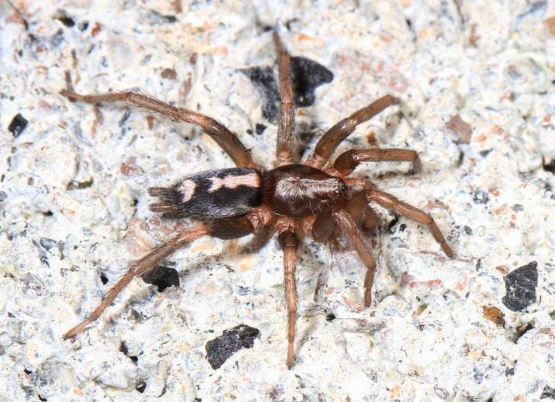 Arachtober 12 - Eastern Parson Spider - Herpyllus ecclesiasticus, Woodbridge, Virginia