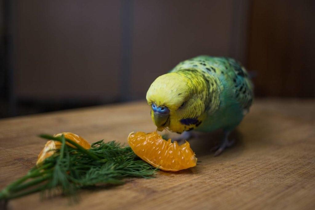 Budgies Eat Orange close up_Kolotygin Igor_Shutterstock