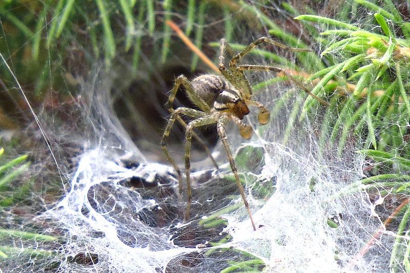 Common American Grass Spider (Agelonopsis actuosa)