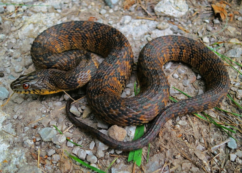 Diamondback Water Snake (Nerodia rhombifer)