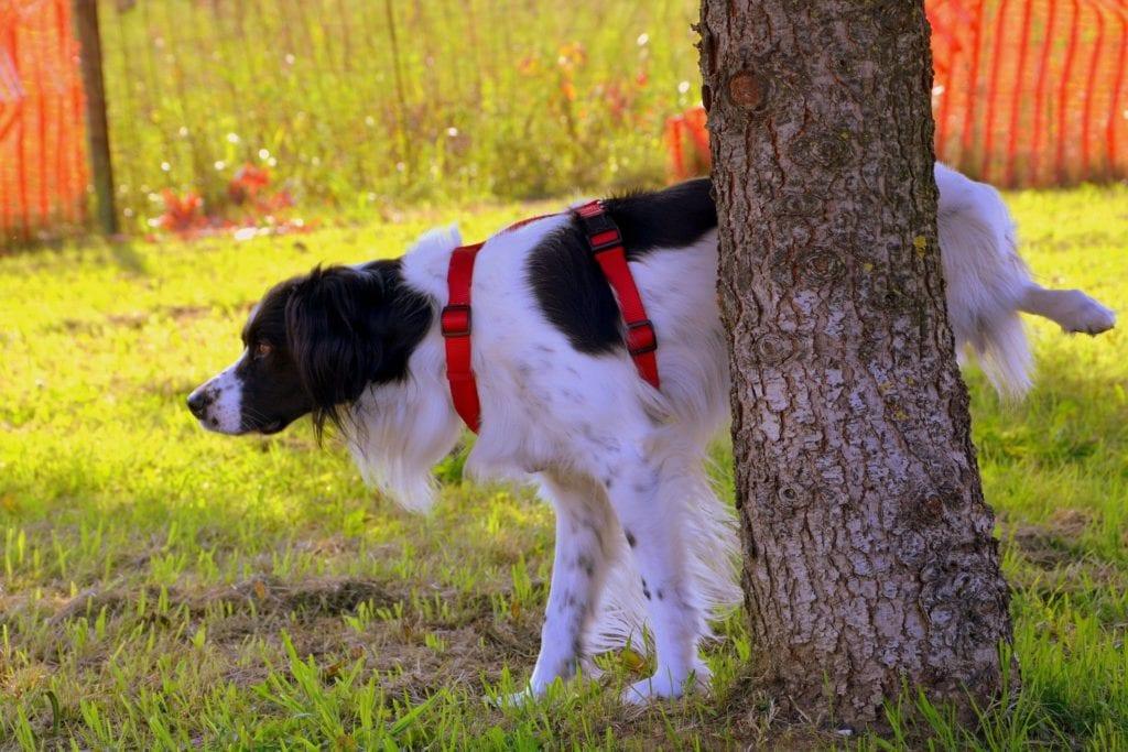 पेड़ पर कुत्ते का पेशाब