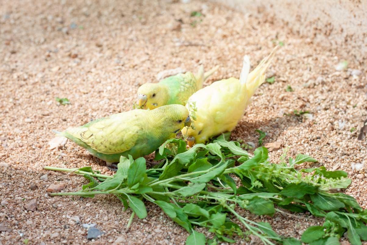 ग्राउडन_टुकताबेबी_शटरस्टॉक पर तुलसी के पत्ते खाते हुए तोता