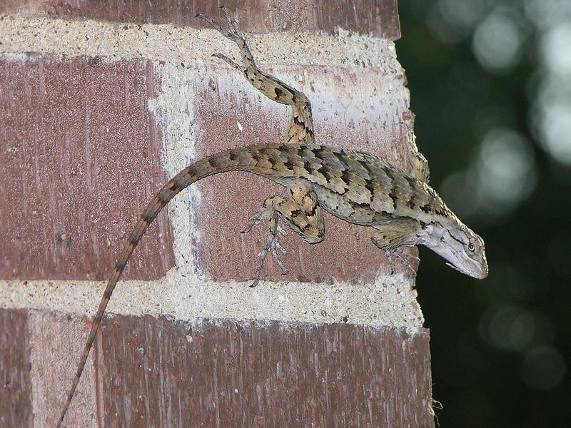 Sceloporus Olivaceus (Texas Spiny Lizard)