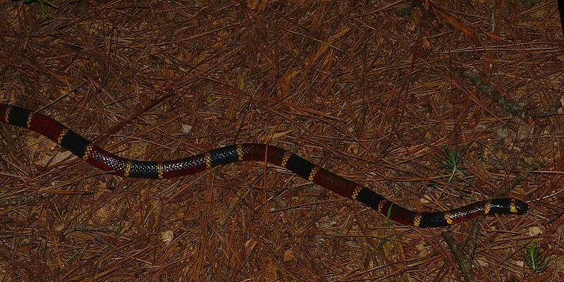Texas Coral Snake (Micrurus tener) photographed in Houston Co., Texas. W. L. Farr