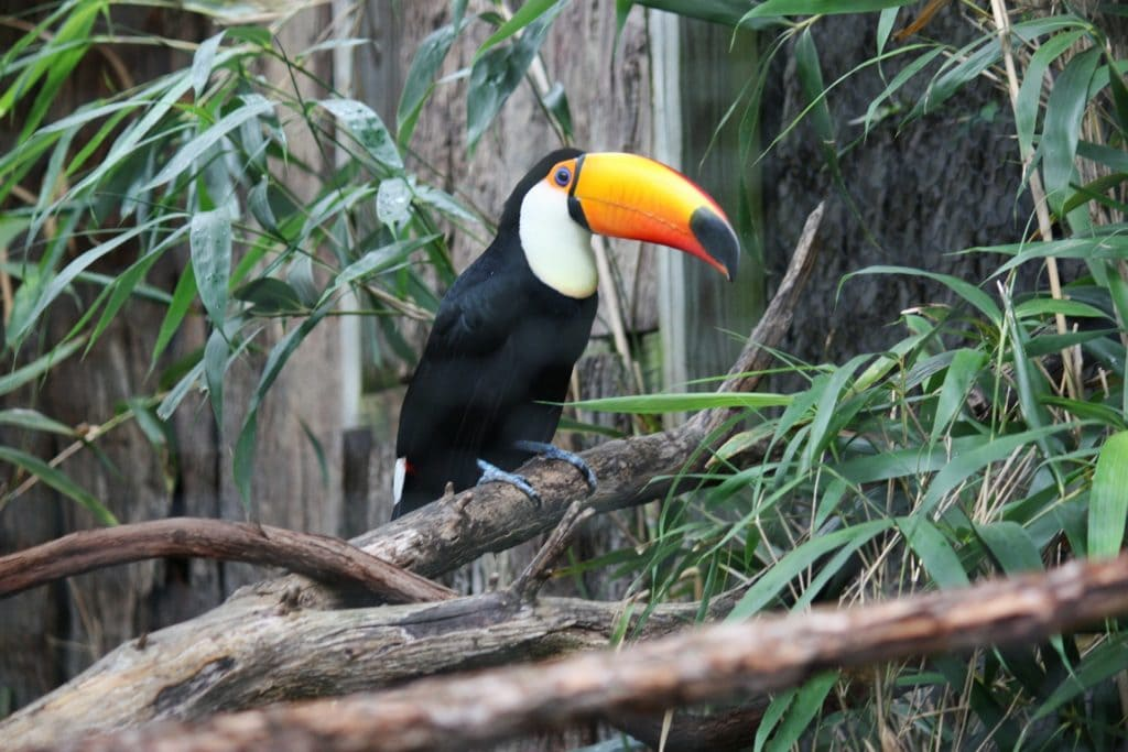 Toucan side view_Pixabay