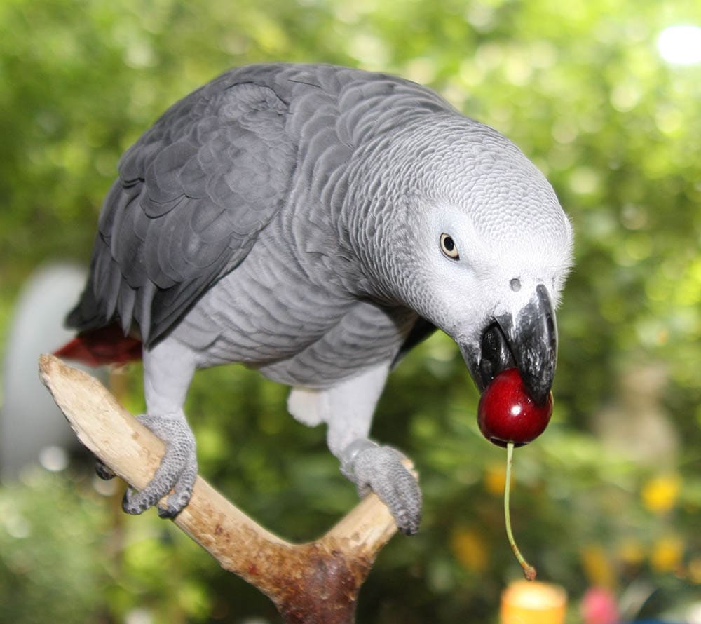 African Grey Parrot with cherry