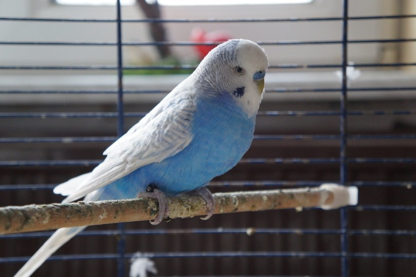 budgie inside cage