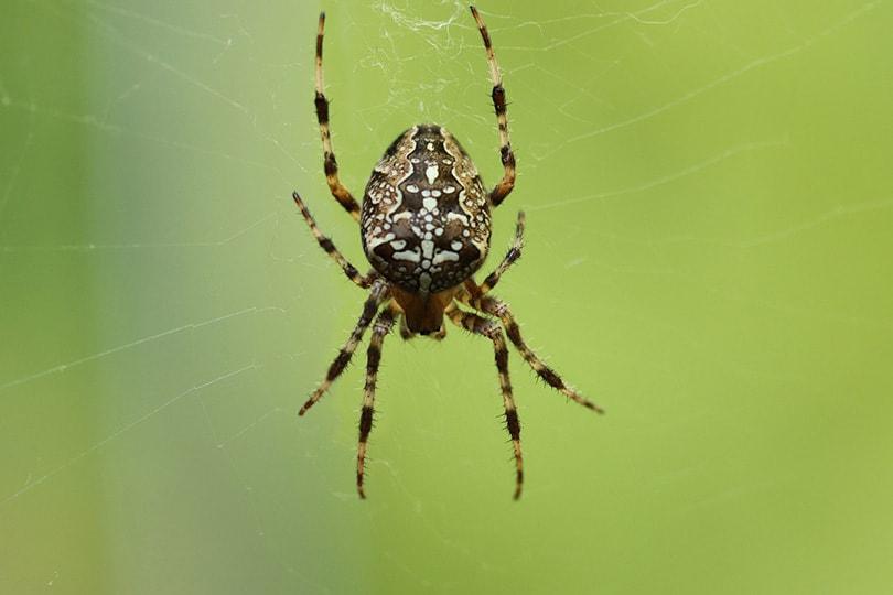 garden spider on its web