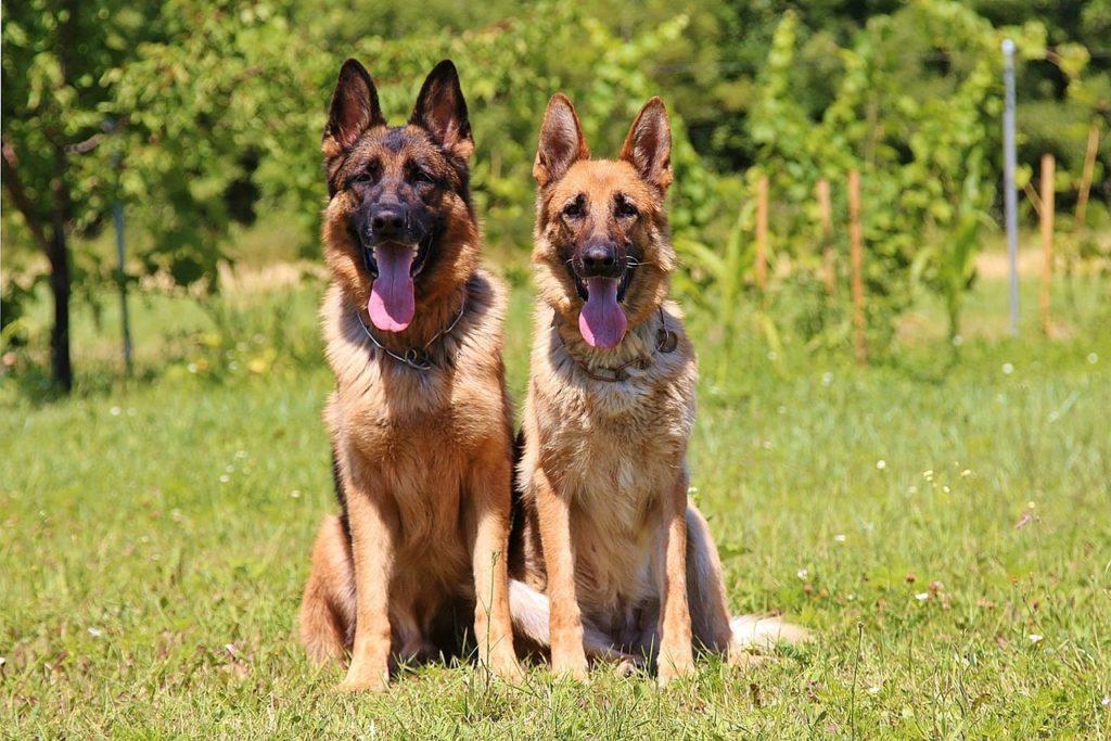घास पर बैठे जर्मन चरवाहे कुत्ते