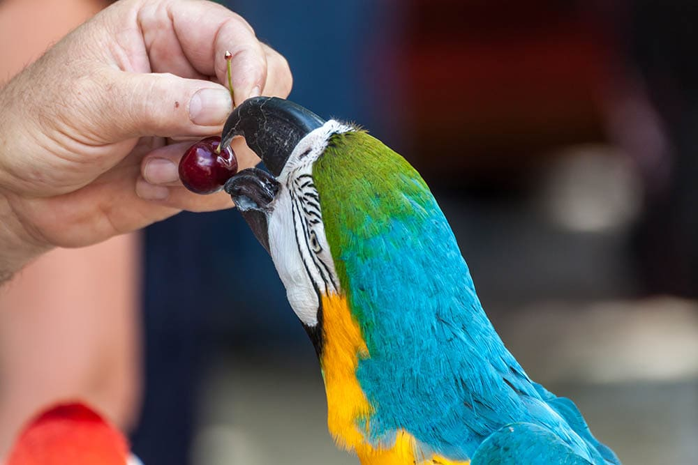hand giving parrot a cherry