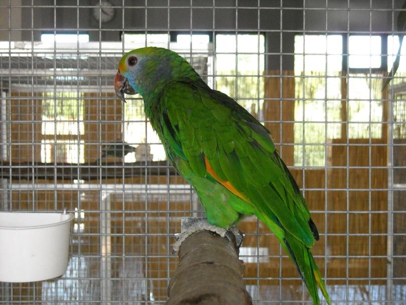 parakeet in cage