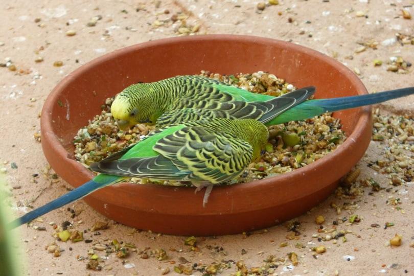 parakeets eating