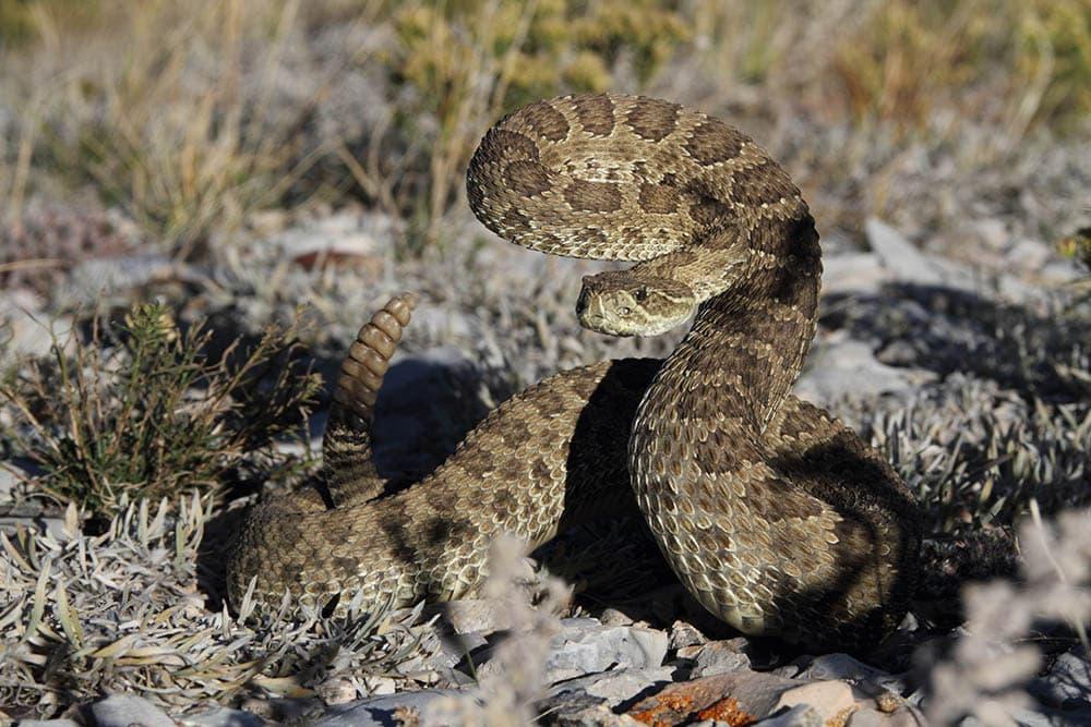 Prairie rattlesnake ready to strike