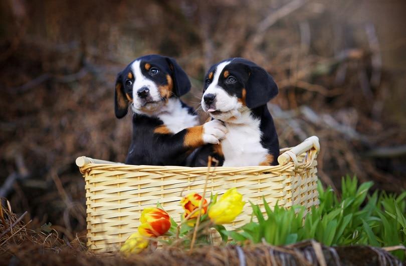 Adorable appenzeller puppies