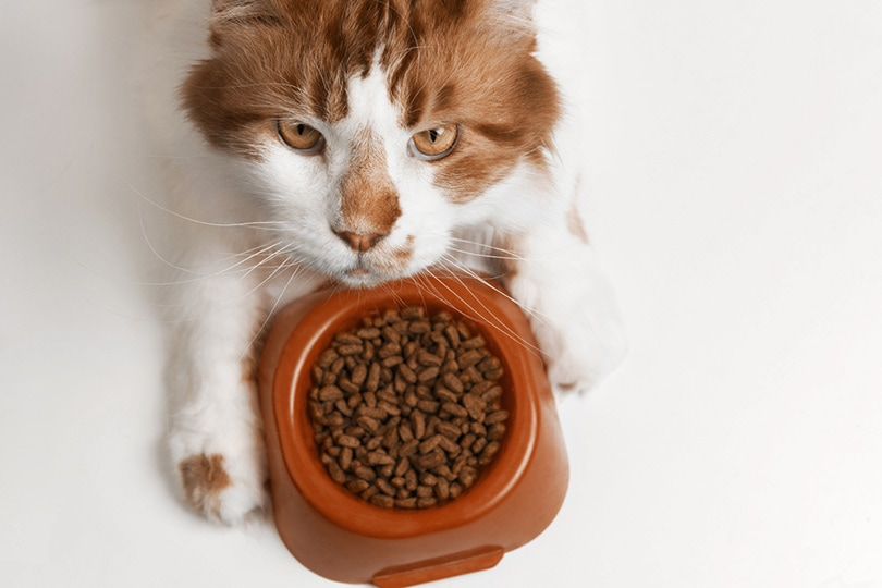 Maine Coon cat eating food