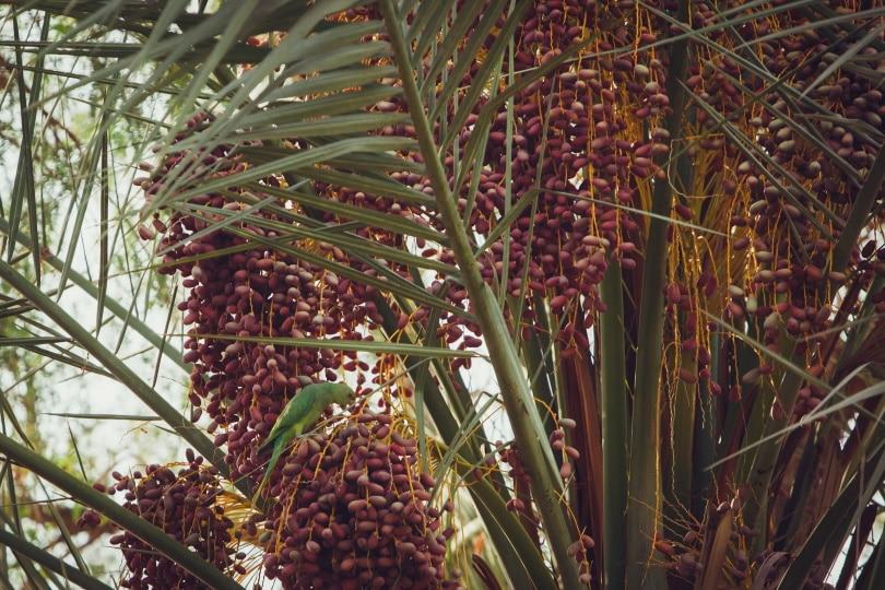 खजूर का पौधा