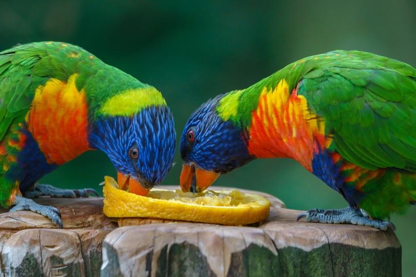 नींबू खा रहे तोते